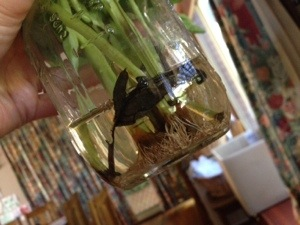 Roots sprouting in the jar water