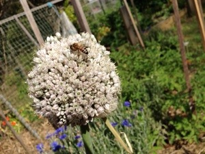 Bee on leek flower head