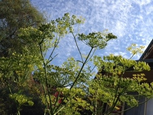 Parsnip against the sky