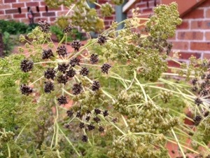 Parsley seed heads