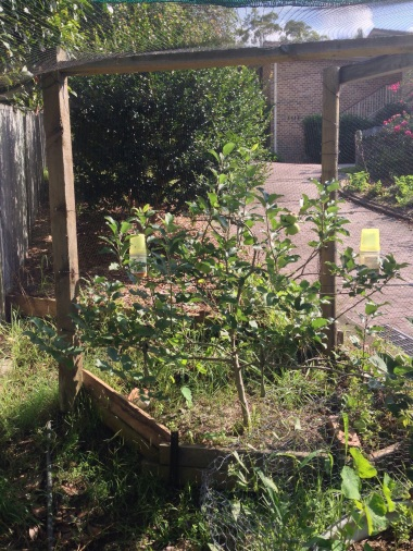 Espalier apple with ripening fruit