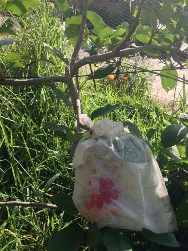 We bagged the remaining fruit on the Gala apple to keep out the rats!