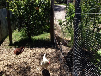 Chickens relaxing in the combined run.