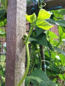 Bean shoots climbing