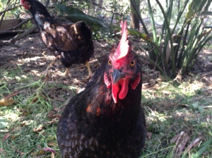Boss chook gives the camera a steely eye