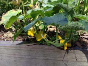 Flowering Cucumber tendril