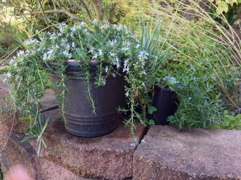 Trailing Rosemary, and French Tarragon