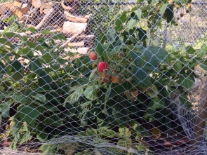Raspberries fruits peeking out of our bird net