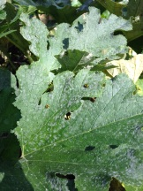 Yellow ladybugs love to eat the powdery mildew!