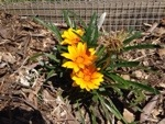 Gazanias recovering well alongside our orchard fence.