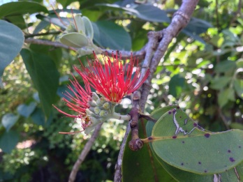 A flowering gum tree (I think!)