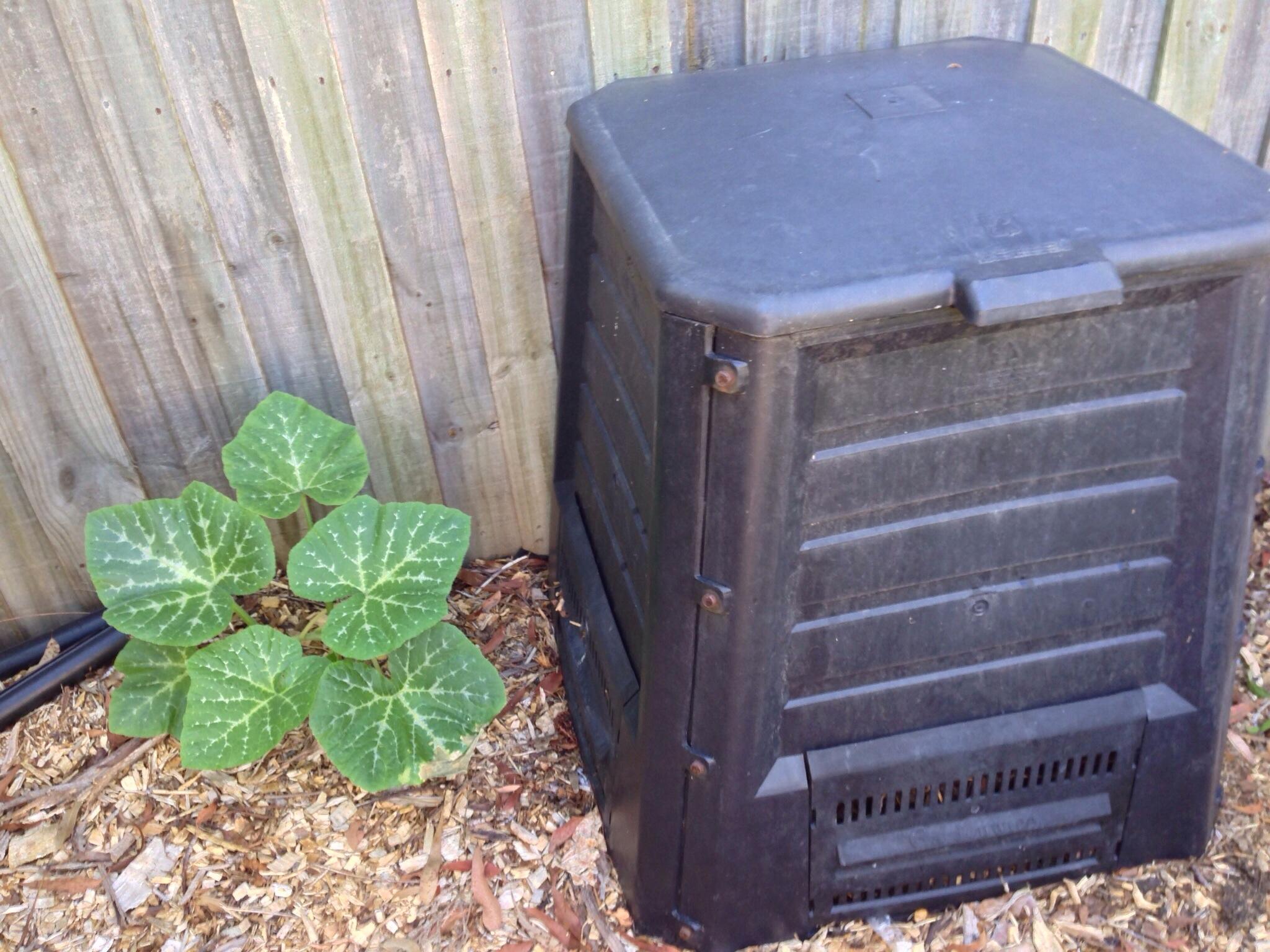 Pumpkin vine establishing next to our compost bin!