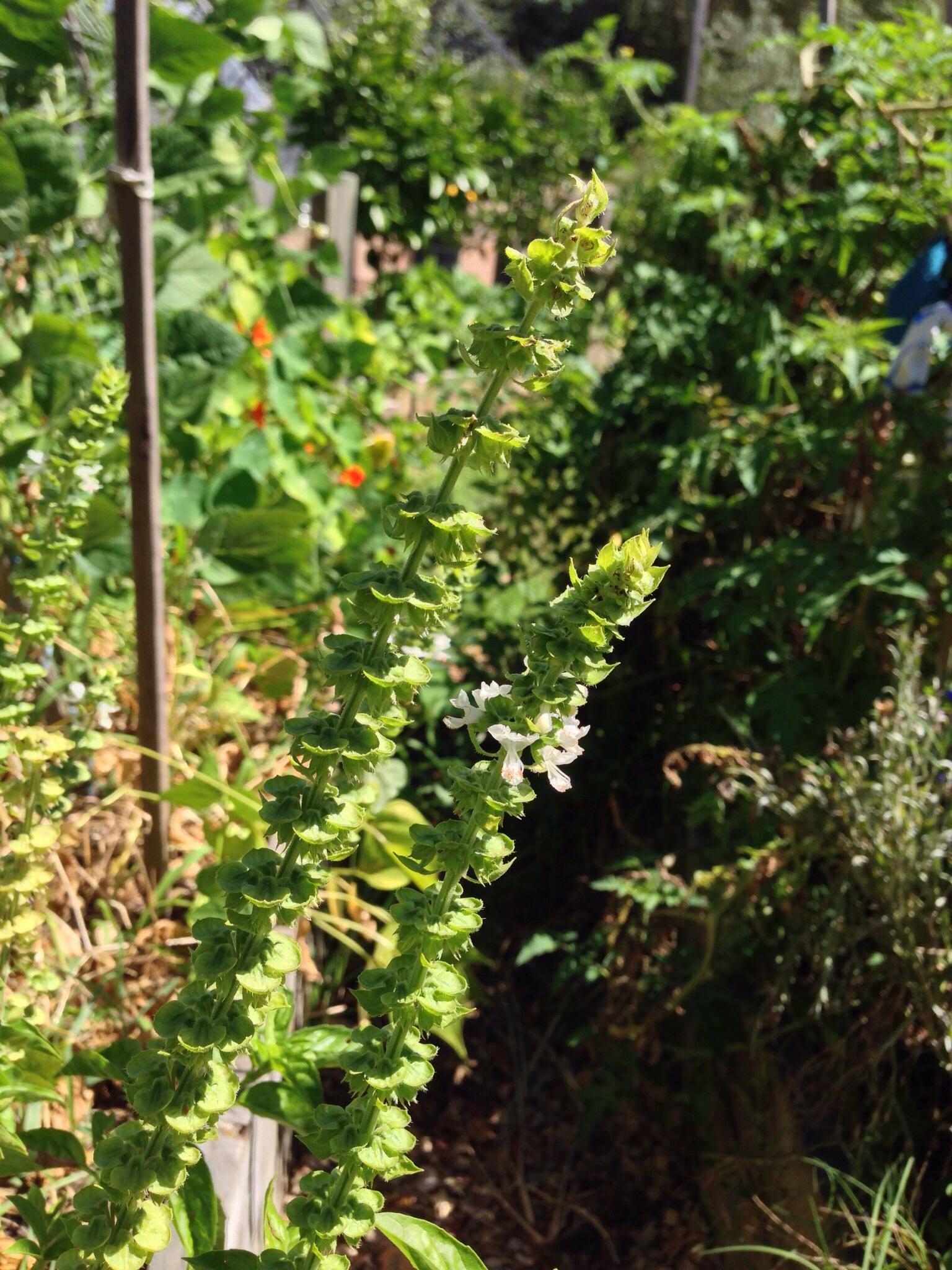 Basil flowering and beginning to set seed