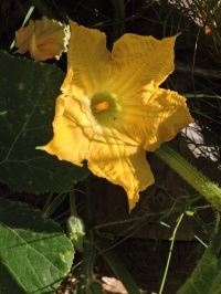 Ants crawling in the pumpkin flowers