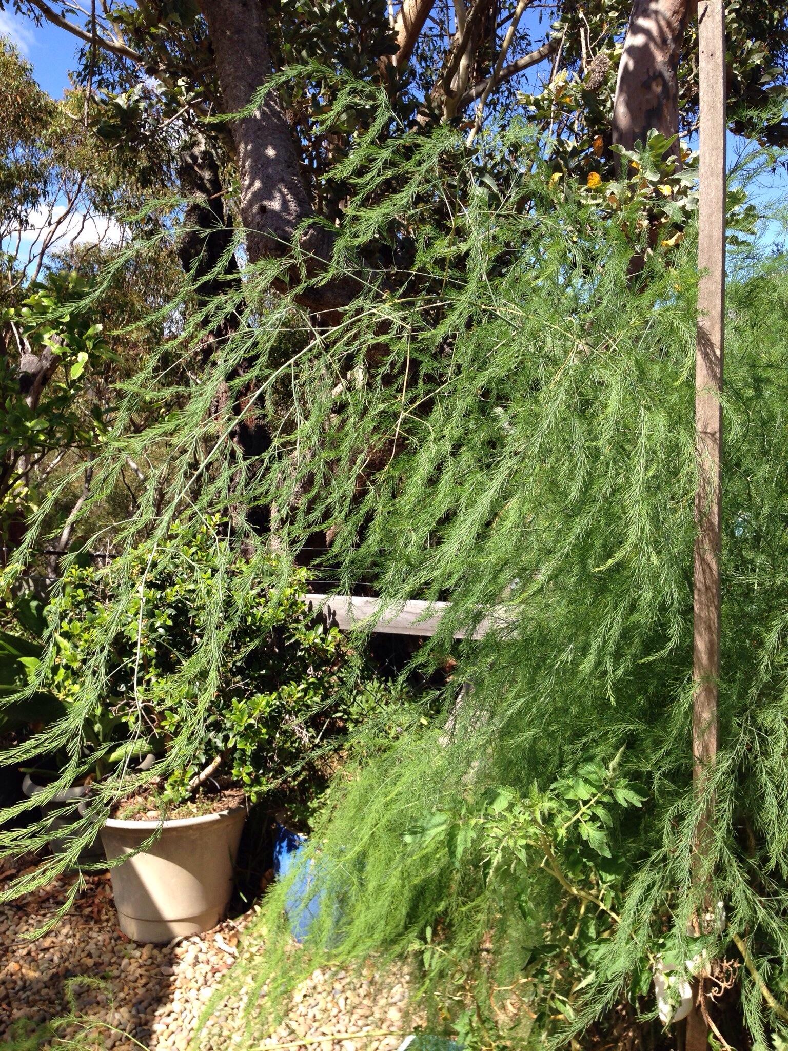 Ferny Asparagus foliage