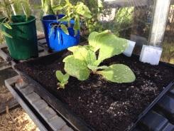Borage seedling