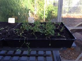 Lucerne seedlings