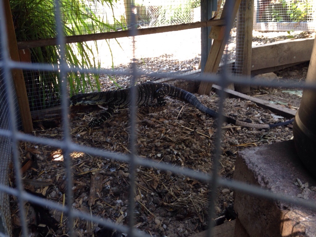 Goanna looking for a way out