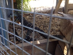 Frightened goanna