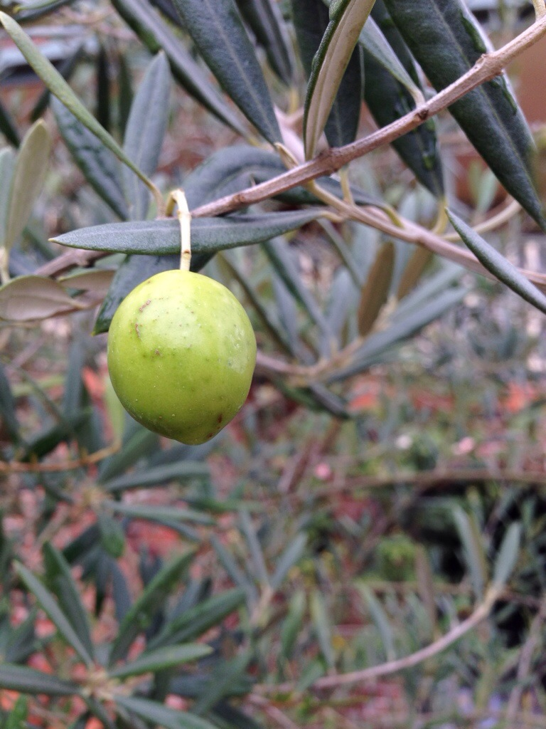One olive on the tree