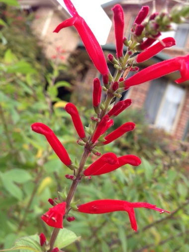 Pineapple sage makes a cheerful pop of red
