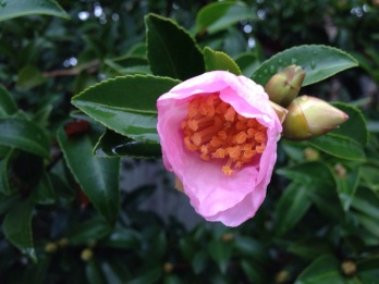 The first camellia on our row of bushes is just opening