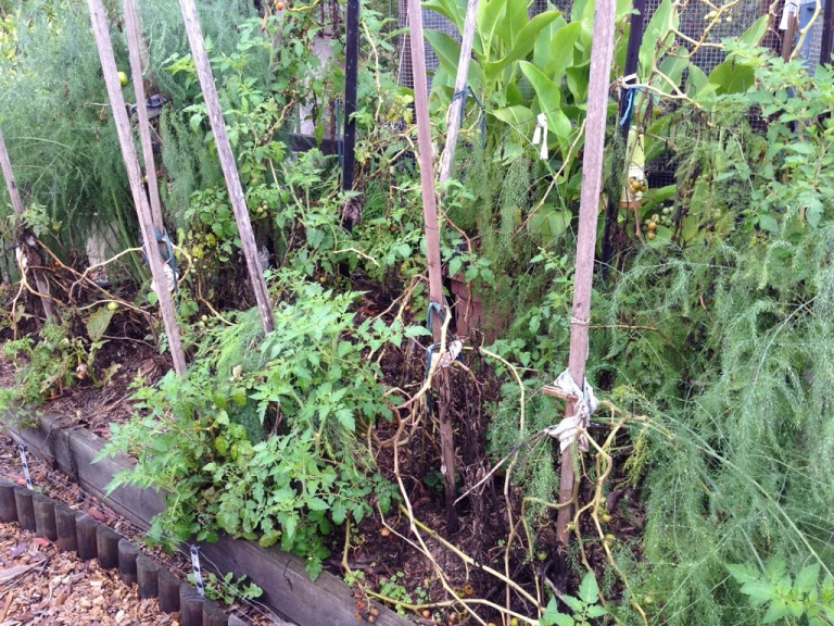 The tomatoes in this bed are starting to look a bit ragged