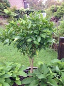 The Orange tree looks tidy again after pruning off the foliage affected by the citrus leaf miner