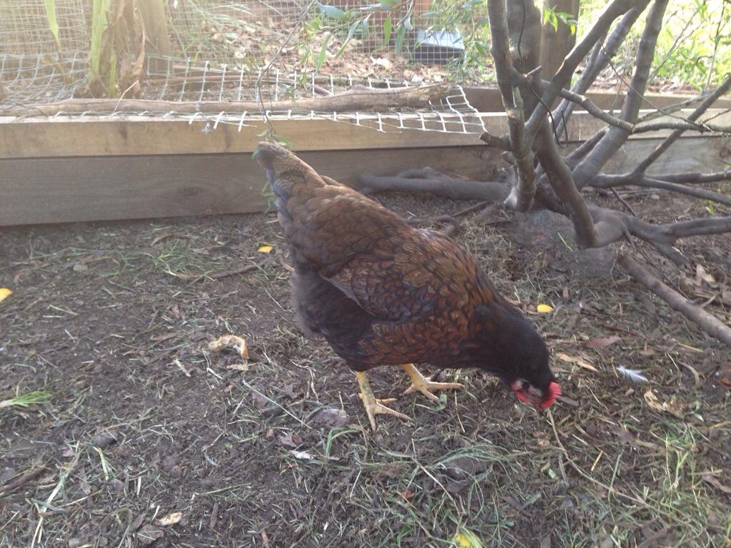 Harriet is definitely a hen