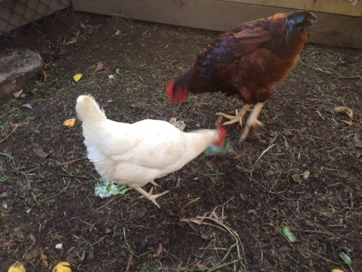 Rose and Matilda pecking scraps