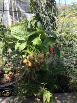 Raspberries ripening on canes