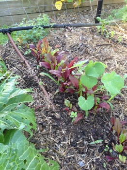 Crowded silverbeet seedlings