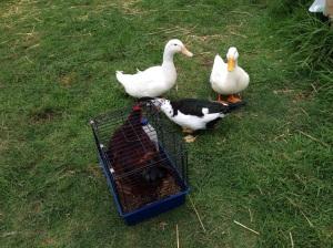 Ducks greeting Rose
