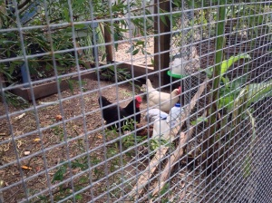 Older chickens letting the little ones feed