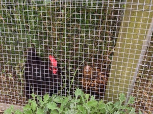Raven and Cricket hanging in the orchard