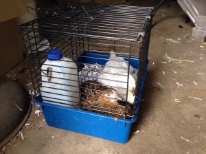 Chicks in their going-home basket