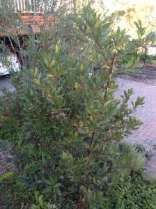 Pruned Bay tree