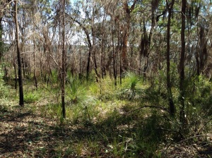 Grass trees in the undergrowth