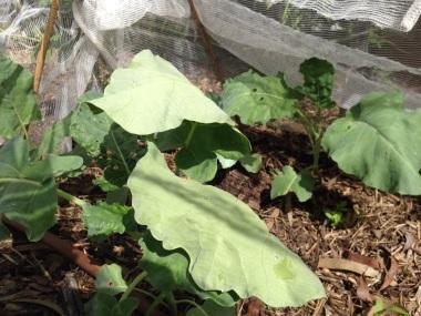 Broccoli under the net