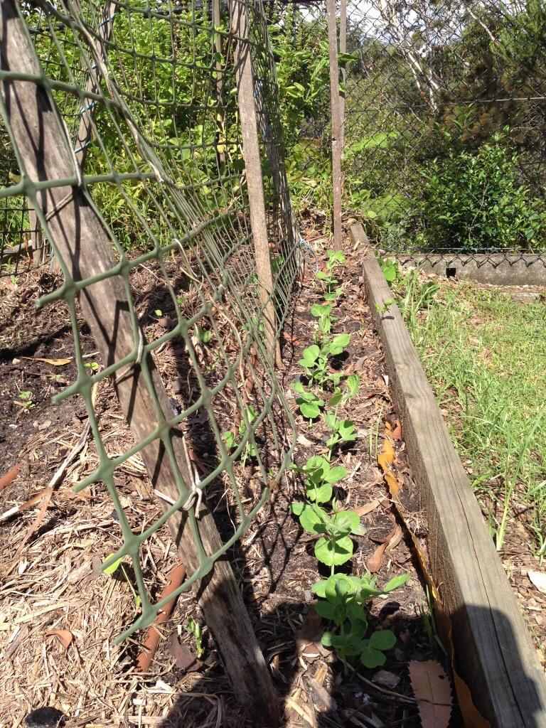 Shelling pea shoots