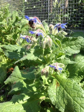 Bee sipping Borage nectar
