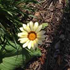 Creamy yellow Gazania flower