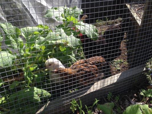 Baby chicks getting bigger