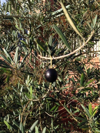 A black olive on the tree