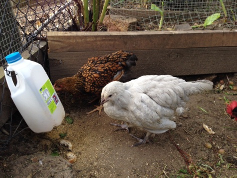 Our youngest chicks, Cricket and Charlotte
