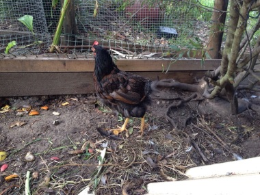Chicken with hardly any tail feathers