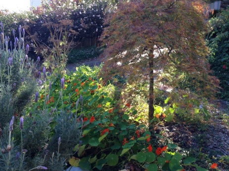"Our ""pretty"" spot - the weeping maple. There is a cheerful stretch of nasturtium reaching under this space at the moment."