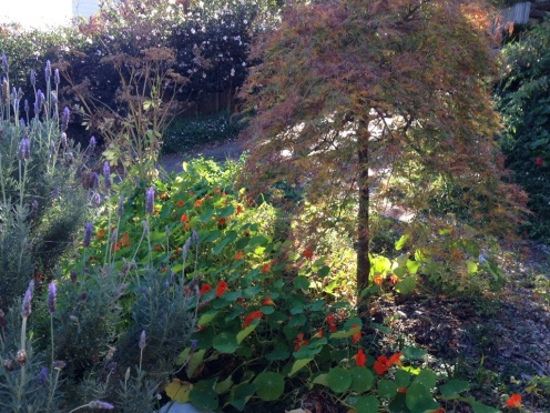 """Our """"pretty"""" spot - the weeping maple. There is a cheerful stretch of nasturtium reaching under this space at the moment."""