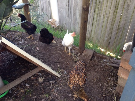 All the chickens lined up for this one. Isn't Cricket (the gold-speckled one in front) getting big?