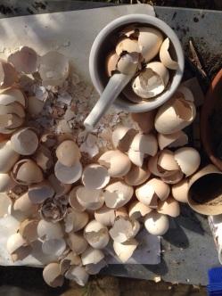 Dried eggshells, ready to crush